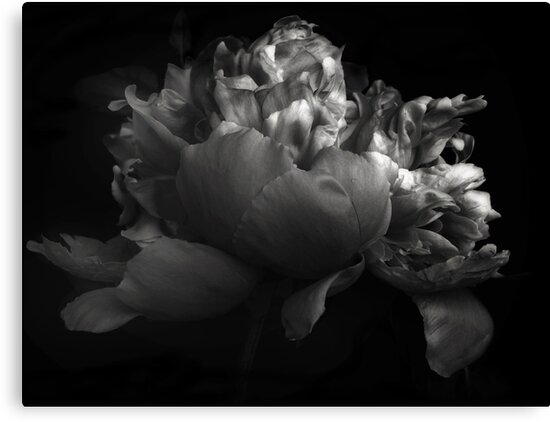 Shades of a Peony by Jessica Jenney