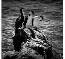 Shag Birds on a Rock Photographic Print
