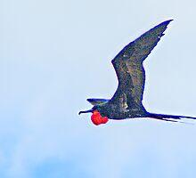 Great Frigate Bird  [Fregata minor] by Yukondick