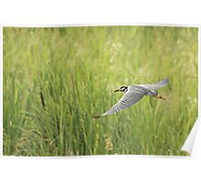 Yellow-crowned Night-Heron (Nyctanassa violacea) Poster
