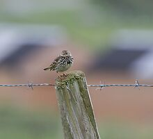 Colourful Pipit.. by Lauren Tucker
