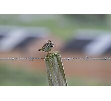 Colourful Pipit.. Photographic Print