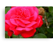 Pink rose close up and green leaves. Canvas Print