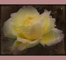 Pink Laced Rose by carolhynes