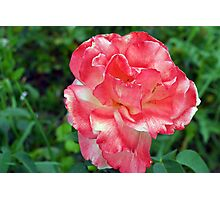 Macro on beautiful pink flower in the garden. Photographic Print