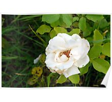 White rose and green leaves pattern. Poster