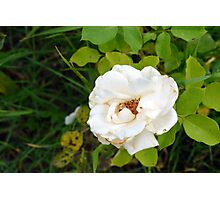 White rose and green leaves pattern. Photographic Print