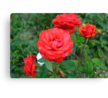 Red roses, natural background. Canvas Print