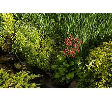 Gardening Delights - Miniature Creek with Red Primrose Photographic Print