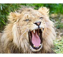 530 lion 1 Photographic Print