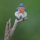 Bluebird of pantaloon by jamesmcdonald