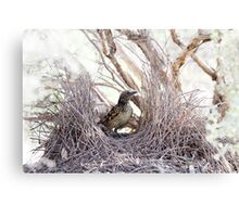 Western Bowerbird at Bower Canvas Print