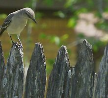 Bird on a fence. by PhotosByNita