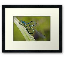 Damselflies Mating Framed Print