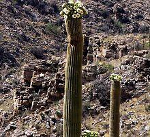 103 Saguaro Bloom by ptosis