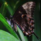 Ulysses profile -  Side on - Daintree Lodge  FNQ by john  Lenagan