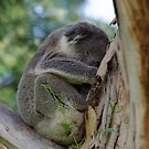 Koala by bekyimage