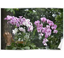 purple and white dendrobium orchid Poster