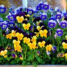 Window Box with Pansies by T.J. Martin