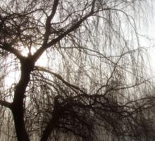 Willow in the Mist Sticker