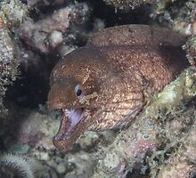 Barred-fin Moray Eel by Mark Rosenstein