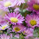 Aster Flowes by flashcompact