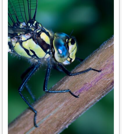 Southern Hawker Dragonfly Sticker