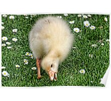 Gosling Among The Daisy........ Poster