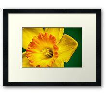 Yellow Daffodil Framed Print