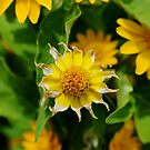 Dying Daisy by farmbrough