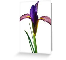 Isolated Eye of the Tiger Dutch Iris Portrait Greeting Card