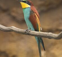 Merops apiaster by Mythos57