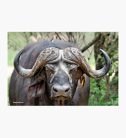 JUST STARING - THE BUFFALO - Syncerus caffer  Photographic Print