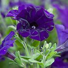 Blow your own trumpet  pansy - 1 by Zennia