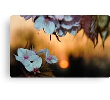 Cherry blossom sunset Canvas Print