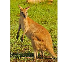 Agile Wallaby Photographic Print