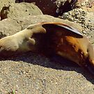 New Zealand Fur Seal visits Yamba by myraj
