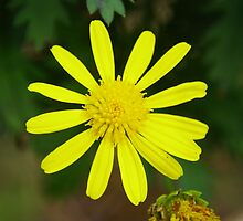 Yellow daisy by ndarby1