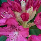 Giant pink petals rhododendron flower – Leigh Hill Surrey by Zennia