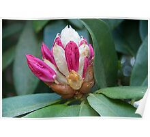 Giant pink rhododendron buds – Leigh Hill Surrey Poster
