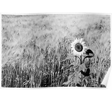 Sunflower in a field of wheat Poster