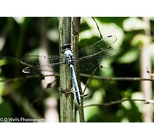 Blue dragonfly on a reed  Photographic Print