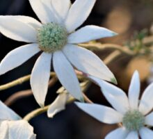 Wildflowers of the Blue Mountains - Sydney Flannel Flower Sticker