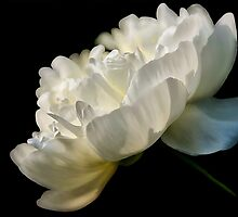 White Peony In The Light by Lois  Bryan