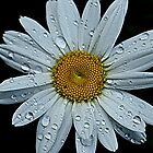happiness is a white daisy by Tgarlick