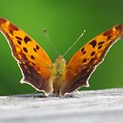 Eastern Comma Butterfly by lorilee