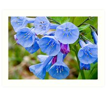 Scientific name: Mertensia virginica Art Print