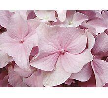 Dusty Pink Hydrangea Photographic Print