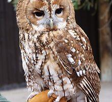 Tawney Owl by Sandra Caven