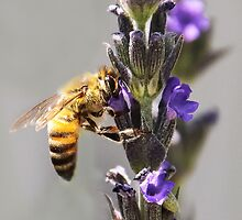 Mr. Bumble In the Lavender by heatherfriedman